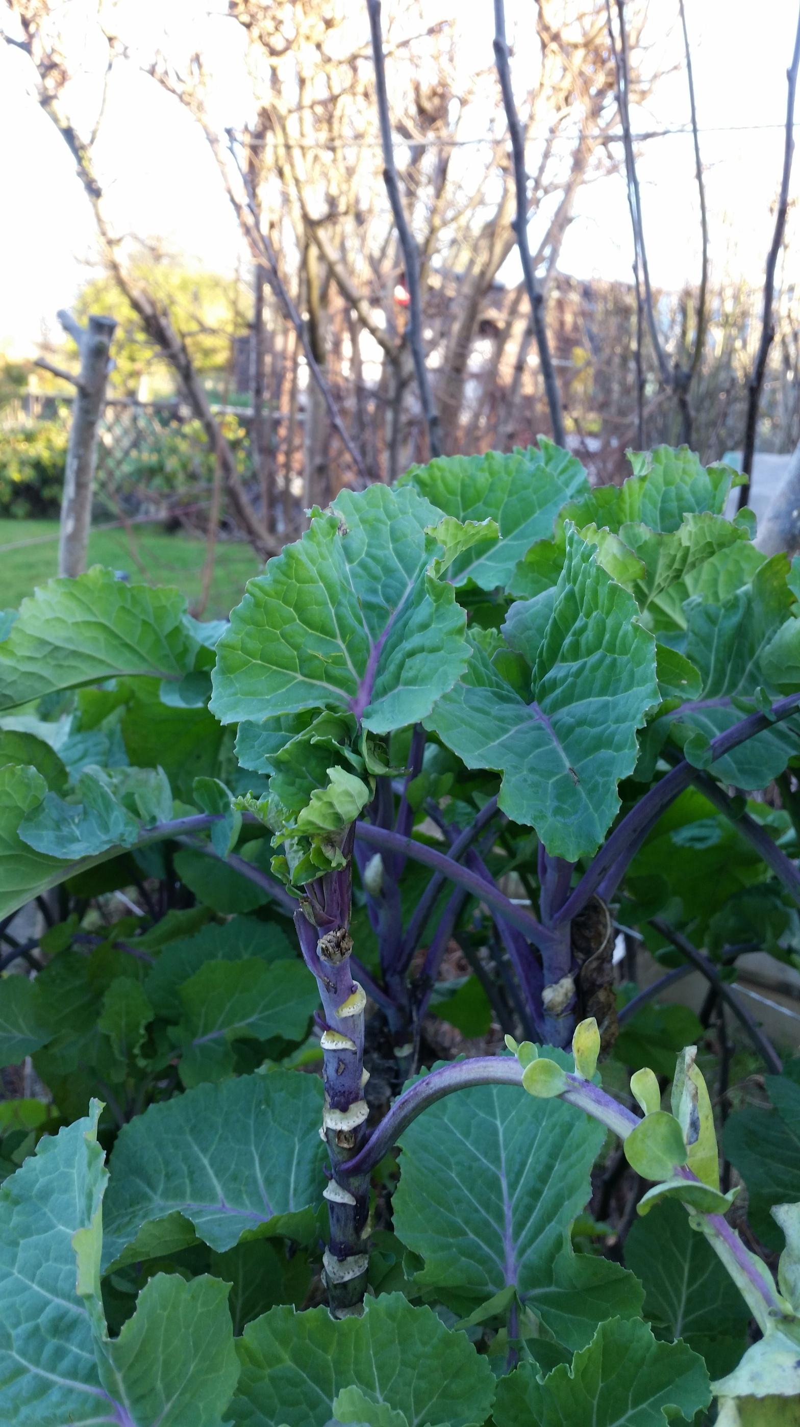Perennial kale in garden January